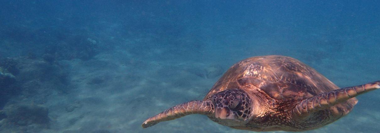 Maui mermaid swimming with sea turtle